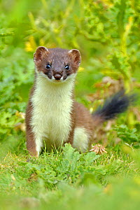 European Stoat (Mustela erminea) in vegetation. UK, July. - Andy Rouse
