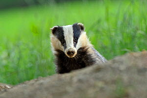 European Badger (Meles meles) looking over hillock at the photographer. Wales, July.  -  Andy Rouse