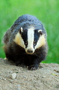 RF- European Badger (Meles meles) portrait. Wales, July. (This image may be licensed either as rights managed or royalty free.) - Andy  Rouse