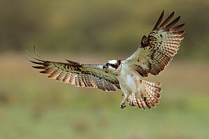 Osprey (Pandion haliaetus) in flight. Dyfi Estuary, Wales, August. It is the first time ospreys have bred at this location for 400 years. - Andy Rouse