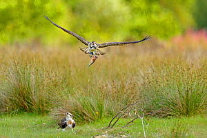 Osprey (Pandion haliaetus) young male 'Einion' carrying fish while flying over its sibling. The bird is wearing a radio tracker. Dyfi Estuary, Wales, August. It is the first time ospreys have bred at... - Andy Rouse