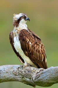 Osprey (Pandion haliaetus) male 'Monty' on perch. Dyfi Estuary, Wales, August. It is the first time ospreys have bred at this location for 400 years. - Andy Rouse
