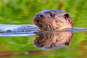 European Otter (Lutra lutra) in water. Wales, UK, November.  -  Andy Rouse