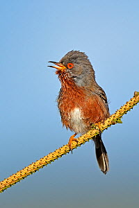 Dartford Warbler (Sylvia undata) male singing. Wales, May. Not available for ringtone/wallpaper use.  -  Andy Rouse