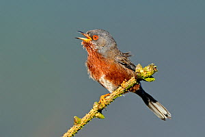 Dartford Warbler (Sylvia undata) male singing. Wales, May.  -  Andy Rouse