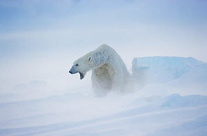 Polar Bear (Ursus maritimus) in snowstorm. Spitsbergen, Norway. Non-excusive.  -  Andy Rouse