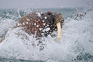 Walrus (Odobenbus rosmarus) splashing through surf. Svalbard, Norway, August. - Andy Rouse