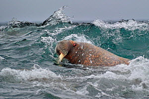 Walrus (Odobenbus rosmarus) in rough water. Svalbard, Norway, August. - Andy Rouse