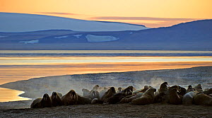 Walrus (Odobenbus rosmarus) colony discharging gas on beach. Svalbard, Norway, August 2011. - Andy Rouse