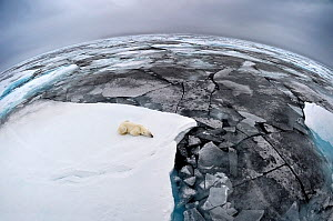 Polar Bear (Ursus maritimus) sleeping on pack ice. Wide angle / fish-eye shot. Svalbard, Norway, September.  -  Andy Rouse