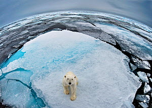 Polar Bear (Ursus maritimus) portrait in sea-ice landscape. Wide angle / fish-eye shot. Svalbard, Norway, September.  -  Andy Rouse