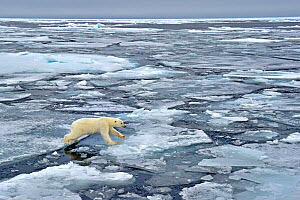 Polar Bear (Ursus maritimus) crossing pack ice. Svalbard, Norway, September.  -  Andy Rouse