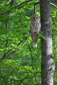 Ural owl (Strix uralensis) perched in tree, Bavarian Forest National Park, Bavaria, Germany - Kerstin Hinze