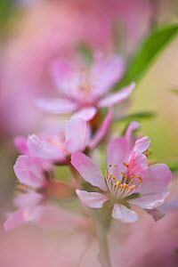 Dwarf Russian almond tree in flower (Prunus tenella), cultivataed in Botanical Garden Brunswick, Germany  -  Kerstin Hinze