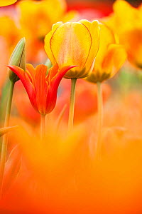 Tulips (Tulipa) 'Synaeda Orange', cultivated, Schwerin, Germany  -  Kerstin Hinze