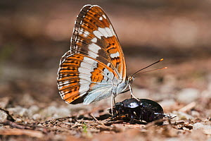 White admiral butterfly (Limenitis camilla) on a beetle, Querumer Forest, Brunswick, Lower Saxony, Germany - Kerstin Hinze