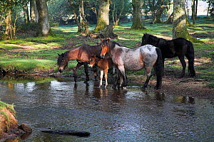 New Forest ponies and foal by the Ober Water stream, Ober Corner, near Brockenhurst, New Forest National Park, Hampshire, UK, May 2008  -  Mike Read