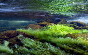 Long underwater exposure of a mountain stream, with Green algae (Chlorophyceae sp.) moving in the current, River Ogwen, Snowdonia NP, Gwynedd, Wales, UK, October 2009  -  Graham  Eaton