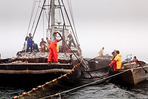Scup fishermen hauling in their catch off Sakonnet Point, Rhode Island, USA, May 2011. All non-editorial uses must be cleared individually.  -  Onne van der Wal