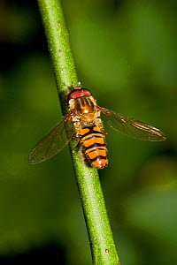 Marmalade hoverfly (Episyrphus balteatus) sunning, South London, UK, August - Rod Williams