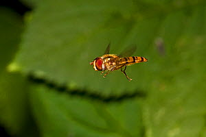 Marmalade hoverfly (Episyrphus balteatus) in flight, South London, UK, August - Rod Williams