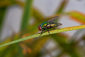 Greenbottle (Lucilia sp) South London, UK, August - Rod Williams