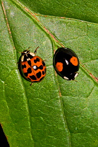 Harlequin ladybirds (Harmonia axyridis)  two showing different spot markings, South London, UK, August  -  Rod Williams