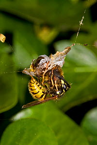 Common wasp (Vespula vulgaris) stealing prey from a spider's web, South London, UK, September  -  Rod Williams