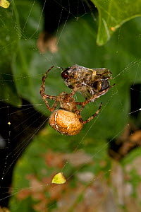 Common cross spider (Araneus quadratus) female wrapping Honeybee prey on web, South London, UK, September - Rod Williams
