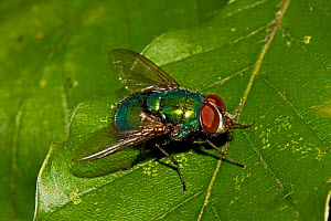 Greenbottle / Blowfly (Lucilia caesar) on leaf, South London, UK, October - Rod Williams