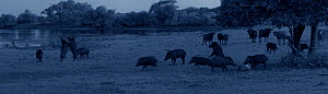 Starlight camera image in moonlight of Eurasian wild boar (Sus scrofa) feeding on carcass of Spotted deer stag (Axis axis) watched by Asian water buffalo (Bubalas bubalas) while the leopard (Panthera... - Martin Dohrn