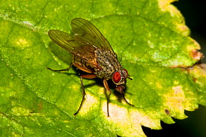 Cluster fly (Pollenia sp) on Sycamore leaf, South London, UK, October - Rod Williams