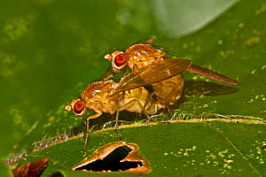 Wildtype Common fruit flies (Drosophila melanogaster) mating on leaf, South London, UK,  October  -  Rod Williams