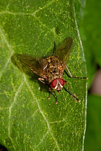 Flesh fly (Sarcophaga sp) on leaf, South London, UK,  October - Rod Williams