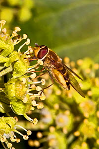 Hoverfly (Syrphus ribesii) feeding on nectar of Ivy flower, South London, UK, October - Rod Williams