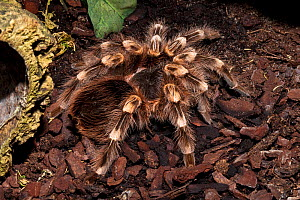 Brazilian White-knee tarantula (Acanthoscurria geniculata) captive, from Brazil  -  Rod Williams