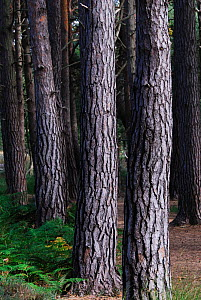 Scots pine (Pinus sylvestris) trunks, Arne, Dorset, UK, Sptember - Colin Varndell