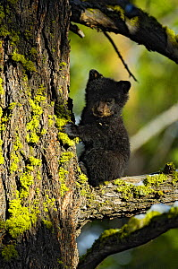 Baby Black Bear (Ursus americanus) up a tree, Yellowstone National Park, USA, May - George Sanker