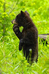 Black bear (ursus americanus) cub standing on hind legs, Yellowstone National Park, USA, June - George Sanker