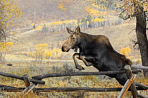 Moose (Alces alces) jumping a fence, Grand Teton National Park, Wyoming, USA, October - George Sanker