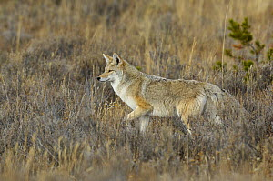 Coyote (Canis latrans) in grassland, Yellowstone National Park, Wyoming, USA, October - George Sanker