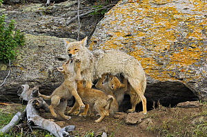 Coyote (Canis latrans) with three pups, one feeding, Yellowstone National Park, Wyoming, USA, May - George Sanker