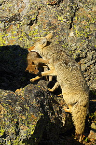 Coyote (Canis latrans) climbing over rocks carrying pup in mouth, Yellowstone National Park, Wyoming, USA, June - George Sanker