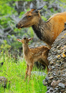 Newborn Elk (Cervus canadensis) calf looks up to its mother, Yellowstone National Park, USA, June - George Sanker