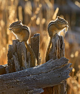 Two Least Chipmunks (Tamias minimus) sitting on tree stump feeding, Yellowstone National Park, Wyoming, USA, October, crop of 1373882 - George Sanker