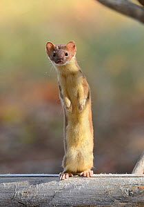 Long-tailed weasel (Mustela frenata) standing on hind legs, Yellowstone National Park, Wyoming, USA, June - George Sanker
