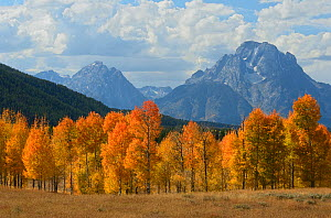 Autumal trees with mountains in the distance, Grand Tetons National Park, Wyoming, USA, October 2011 - George Sanker