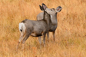 Two Mule deer (Odocoileus hemionus) interacting, USA, October - George Sanker