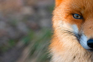 Red fox (Vulpes vulpes) close-up of half of face, captive - Edwin Giesbers