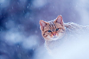 Wild cat (Felis silvestris) in snowstorm captive, Germany - Edwin Giesbers
